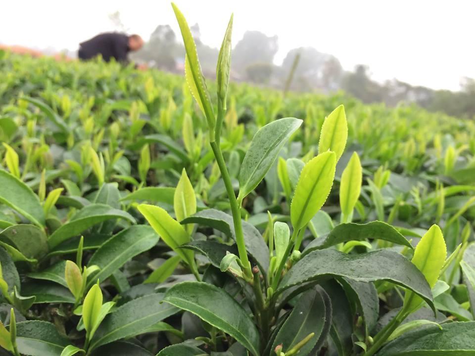 Trà đinh Thái Nguyên được chọn lọc từ những đọt trà non