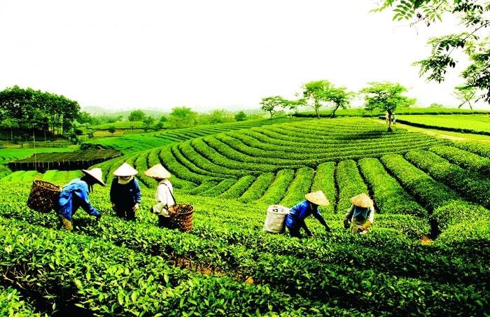 Hình ảnh đồi trà ở vùng Tân Cương Thái Nguyên