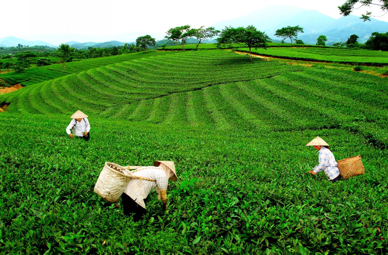 Bà con hái chè trên một đồi chè ở Thái Nguyên