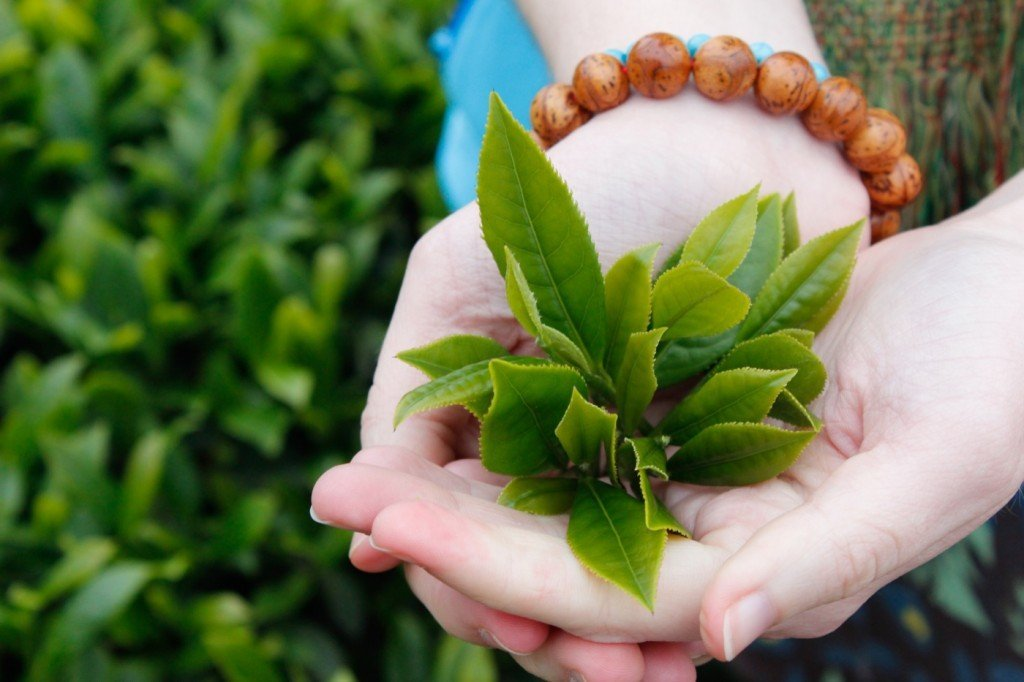 Bột trà xanh Thái Nguyên là loại bột nguyên chất 100% từ lá trà xanh