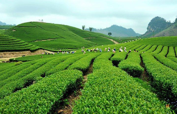 Hình ảnh nương trà vùng Tân Cương Thái Nguyên
