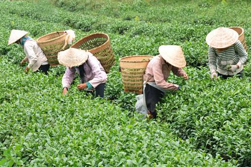 Thu hoạch trà xanh Tân Cương Thái Nguyên