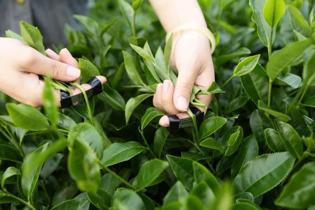 Thu hoạch trà ô long