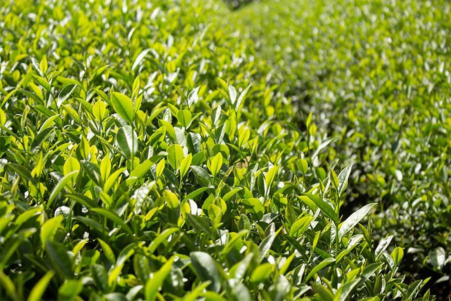 Nguồn gốc của trà oolong