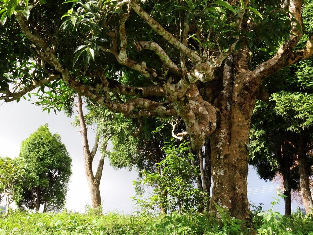 Cây trà cổ thụ sừng sững ở độ cao hơn 1000m so với mực nước biển