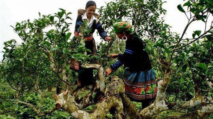 Khám phá rừng chè cổ thụ lớn nhất Việt Nam