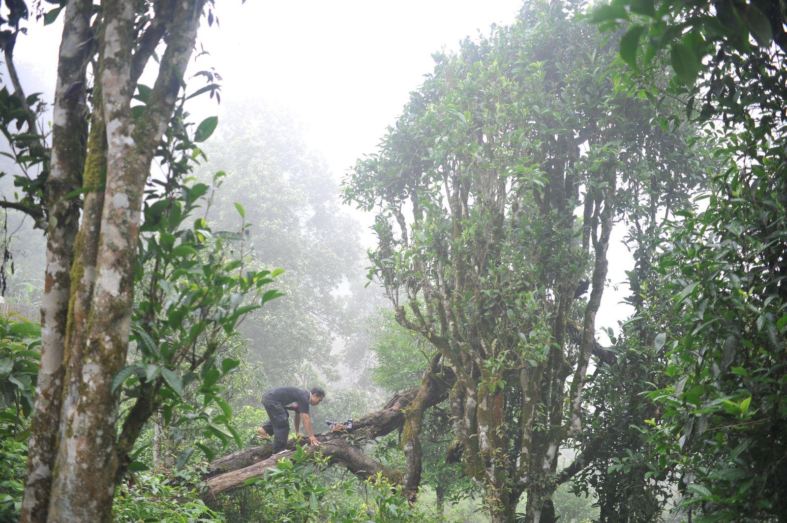 Trà shan cổ thụ là một giống cây quý cần được chú ý phát triển