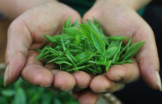 Trà dùng để ướp hoa sen phải được chăm sóc hữu cơ và chưa được lên hương.
