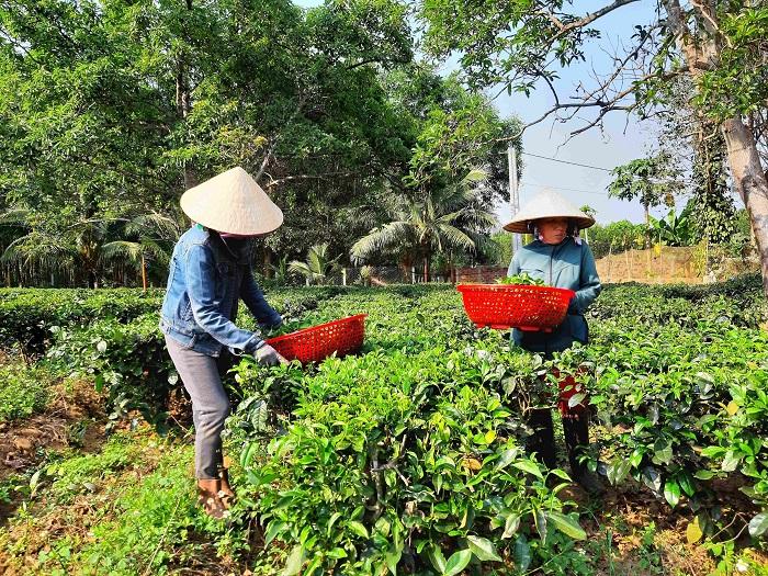 Danh trà Gò Loi trở lại thị trường nhờ sự quyết tâm và niềm khao khát của người trồng trà