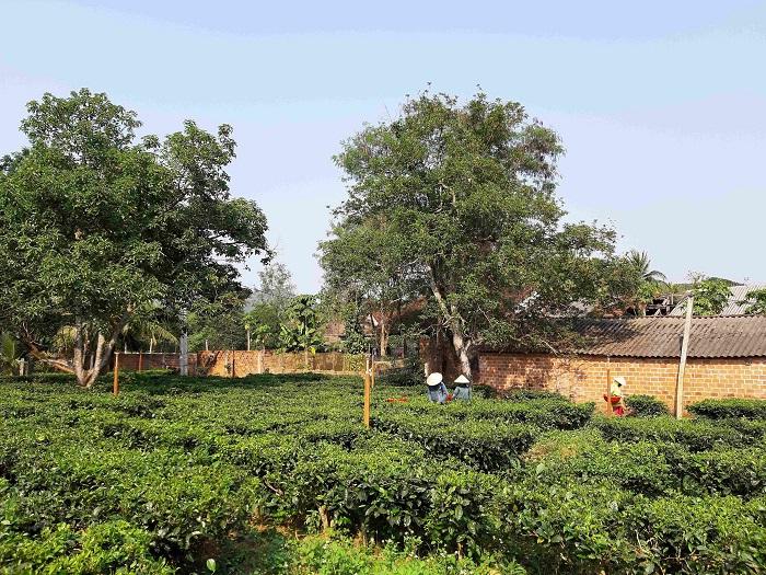 Vườn trà Gò Loi tại xã Ân Tường Tây, huyện Hoài Ân