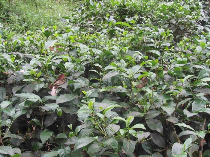Trà Gò Loi ngon nức tiếng là búp trà phải đạt một tôm hai lá non