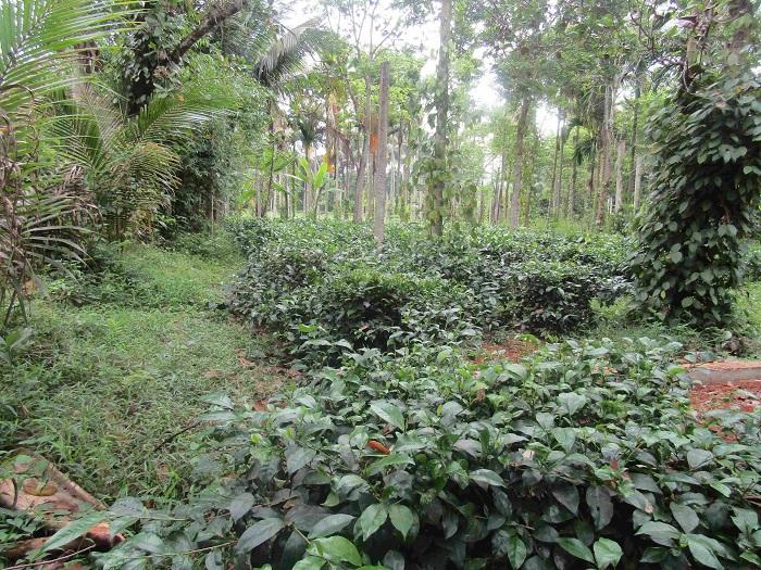 Cây trà là một trong bảy loại cây trồng nằm trong cơ cấu phát triển trong Chương trình mục tiêu Quốc gia xây dựng nông thôn mới của huyện Hoài Ân