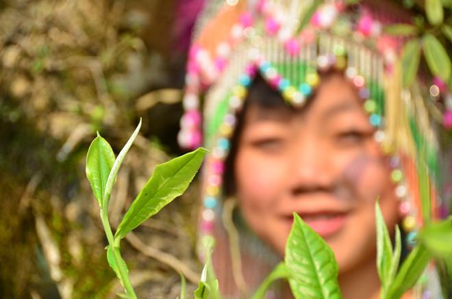 Búp non phủ lông tơ trắng muốt, một đặc điểm nhận dạng của trà Shan cổ thụ