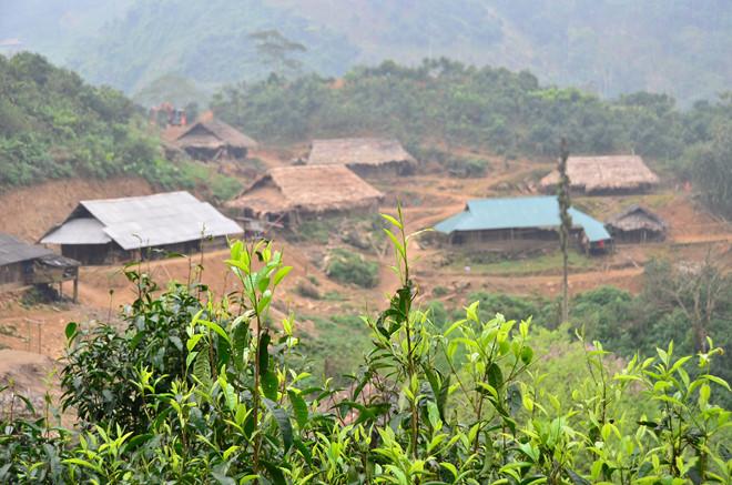 Trà cổ thụ mọc khắp nơi quanh làng Mảnh thuộc xã Sùng Đô, Yên Bái