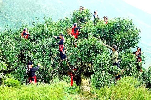 Chè Shan tuyết cổ thụ hàng trăm năm tuổi là đặc sản của dải núi Tây Côn Lĩnh, Hà Giang.