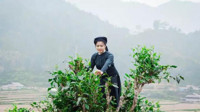 Sự Phát Triển Của Chè Shan Tuyết Bắc Kạn
